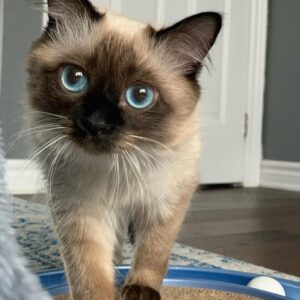 Balinese Cat for sale