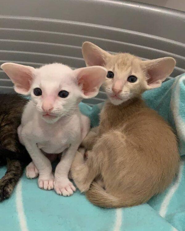 Oriental Shorthair Cat for sale