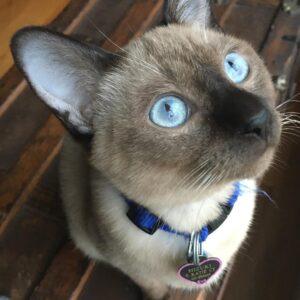 Tonkinese Kittens for sale