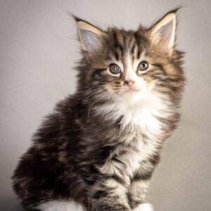 Norwegian Forest Cat for sale