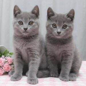 Chartreux Cat for sale